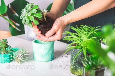Woman is planting succulent plant in the new planter pot