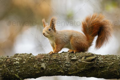 Cute red squirrel sitting on branch in autumn nature