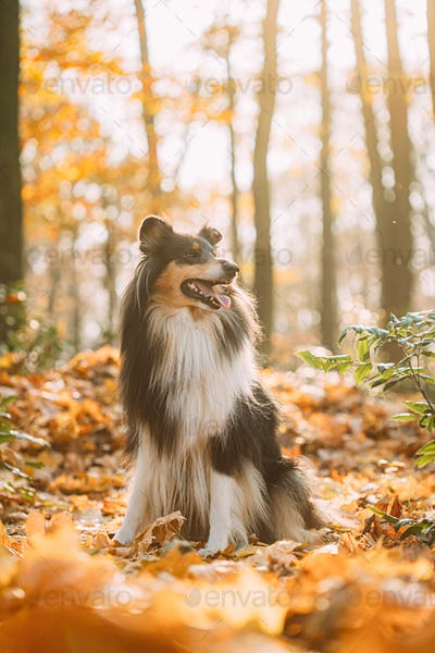 Tricolor Rough Collie, Funny Scottish Collie, Long-haired Collie, English Collie, Lassie Dog