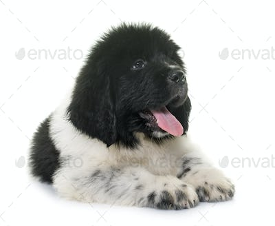 black and white puppy newfoundland dog