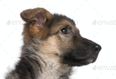 Close-up of German Shepherd puppy, 4 months old, in front of white background