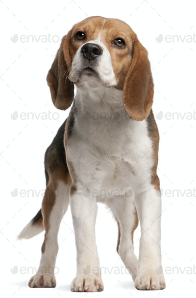 Beagle, 1 year old, standing in front of white background
