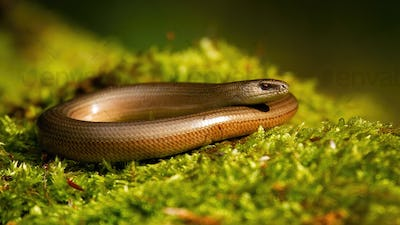 Inactive slowworm basking in summer nature on green moss
