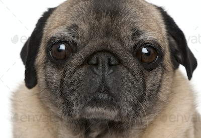 Close-up of old pug, 6 years old, in front of white background