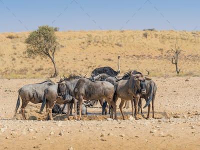 Wildebeest at a Kalahari Waterhole