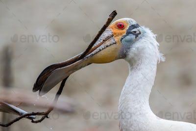 Roseate Spoonbill Nesting