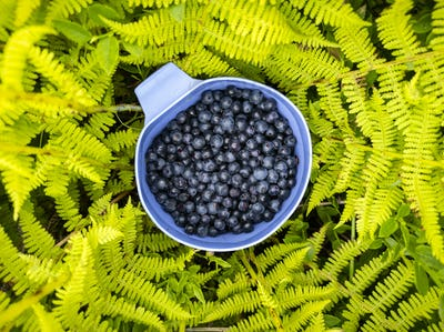 Blueberry berries in blue cup in green fern