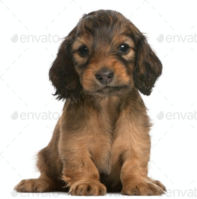 Dachshund puppy, 5 weeks old, sitting in front of white background