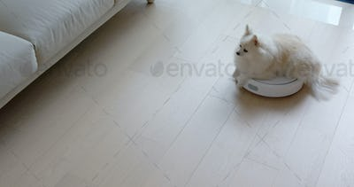 Pomeranian Dog sit on robotic vacuum cleaner slides across the room