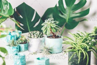 Planting succulent plant in pot