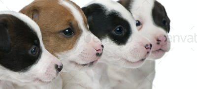 Close-up of Jack Russell Terrier puppies, 5 weeks old, in front of white background