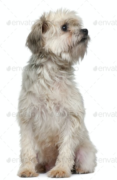L??wchen or Petit Chien Lion, 3 years old, sitting in front of white background