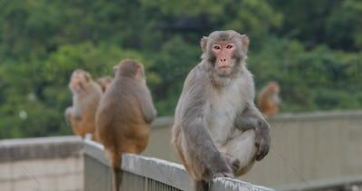 Many Wild monkey sit on the metal rail