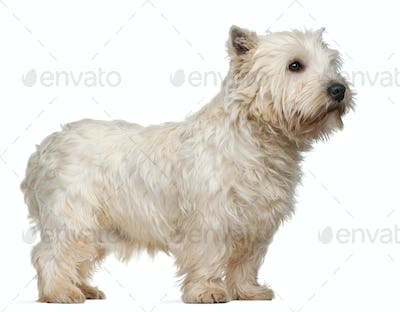 West Highland White Terrier, 3 years old, standing in front of white background