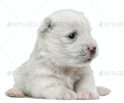 West Highland White Terrier puppy, 4 weeks old, lying in front of white background