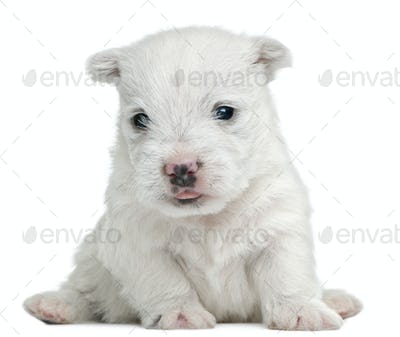 West Highland White Terrier puppy, 4 weeks old, sitting in front of white background