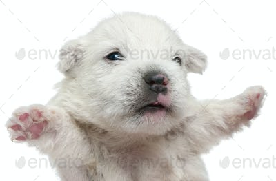 West Highland White Terrier puppy, 4 weeks old, with paws up in front of white background