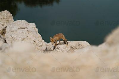 Baby fox on rocks near water