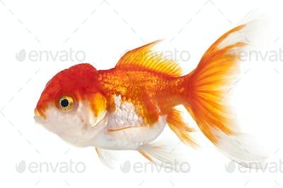 Lionhead goldfish, Carassius auratus, in front of white background
