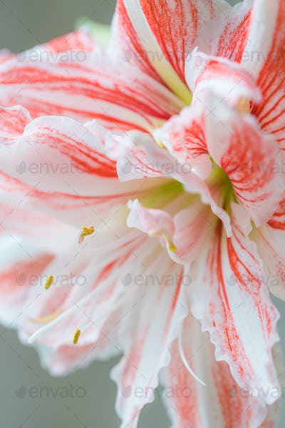 Beautiful red striped Barbados lily close up