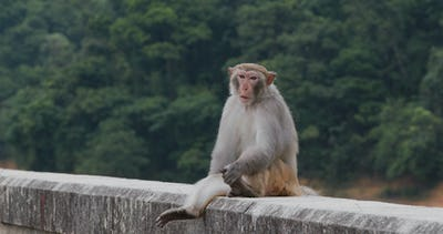 Wild monkey at the street