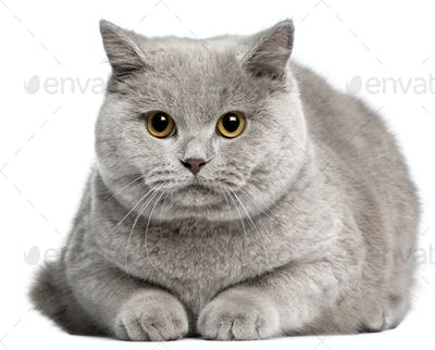 British Shorthair cat, 8 months old, in front of white background