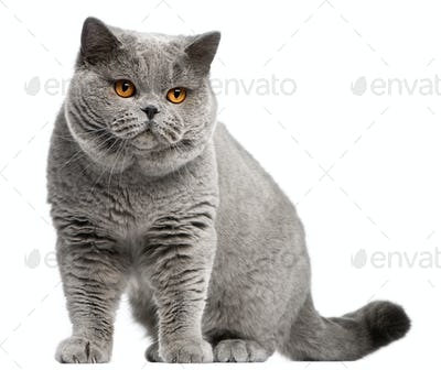 British Shorthair cat, 2 years old, in front of white background