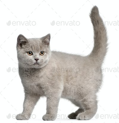 British Shorthair kitten, 3 months old, in front of white background