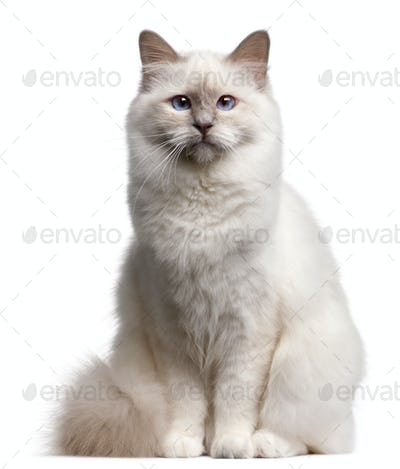 Birman cat, 9 months old, in front of white background