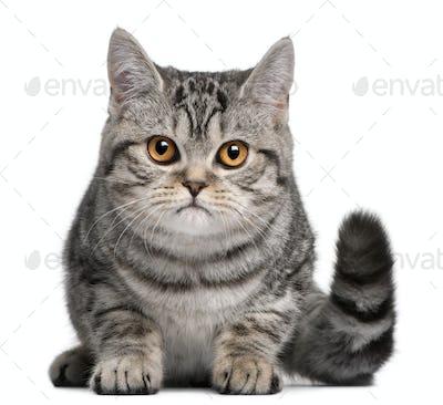 British Shorthair kitten, 5 months old, in front of white background