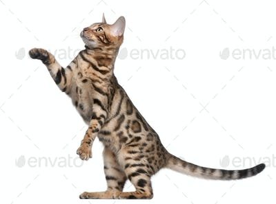 Bengal kitten, 5 months old, in front of white background