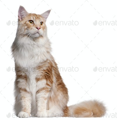 Maine Coon cat, 14 months old, in front of white background