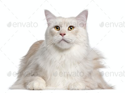 Maine Coon cat, 3 years old, in front of white background