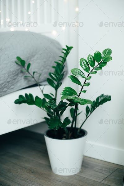 House plant green ficus in white pot on floor near the bed. White bedroom interior