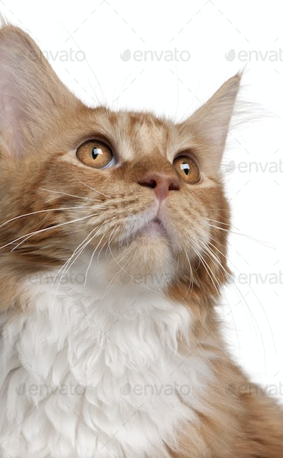 Close-up of Maine Coon kitten, 7 months old, in front of white background