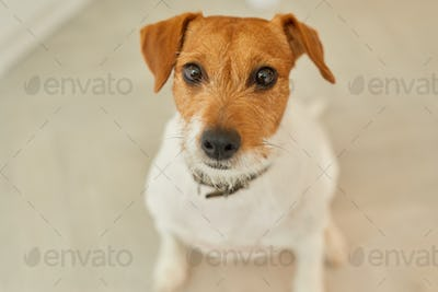 Portrait of Small Pet Dog Looking at Camera