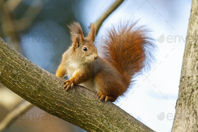 Curious red squirrel sitting on tree in autumn nature
