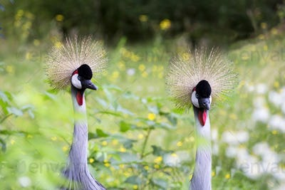Crowned cranes in a clearing