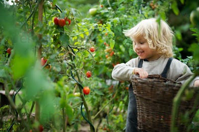 Small boy collecting cherry tomatoes outdoors in garden, sustainable lifestyle concept