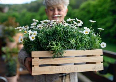 Senior woman gardening on balcony in summer, holding flowering plants