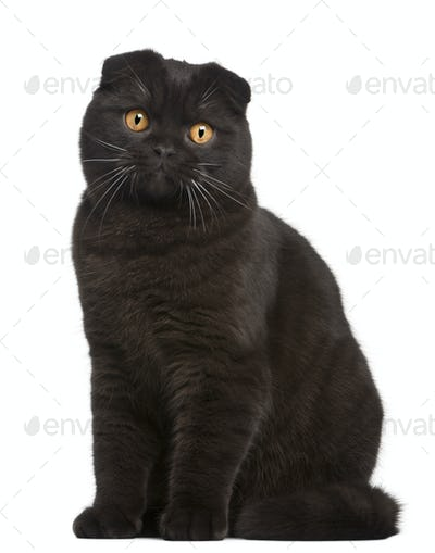 Scottish Fold Kitten, 8 months old, in front of white background