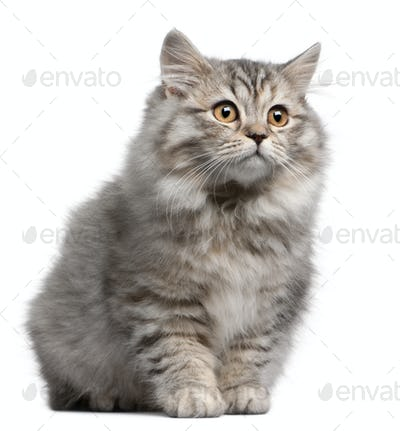 British Longhair kitten, 4 months old, in front of white background