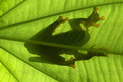 Shadow of Tree Frogs Sitting on a Leaf