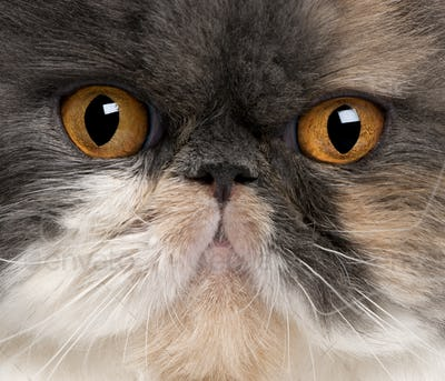 Close-up of Persian cat, 18 months old