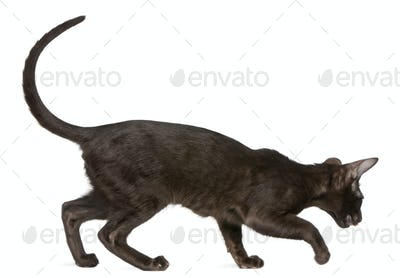 Oriental Shorthair kitten, 5 months old, walking in front of white background