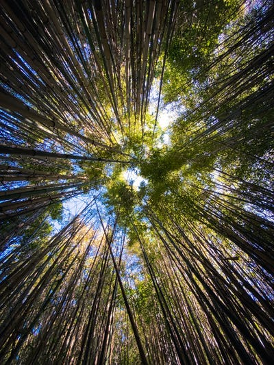 Looking up canopy of bamboo trees into shining sun