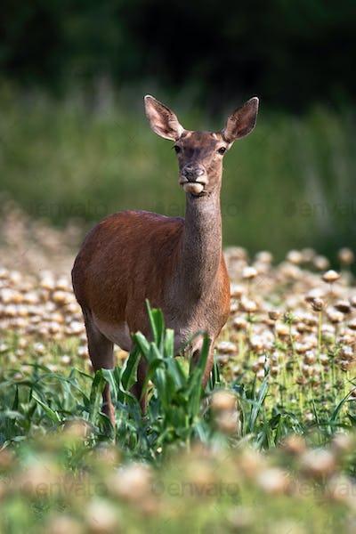 Red deer hind standing in poppy in summer nature
