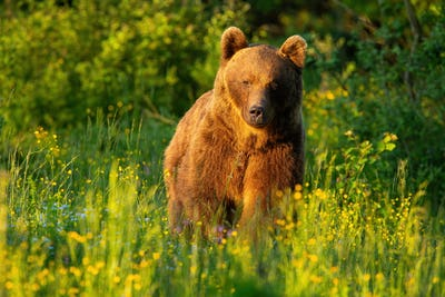 Majestic brown bear walking on meadow in summer at sunset