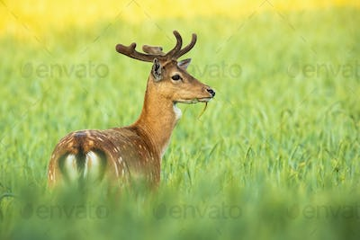 Magnificent fallow deer stag standing in grain in summer nature