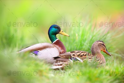 Two mallard sitting in grass in summertime nature